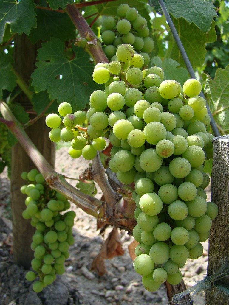 World class grapes