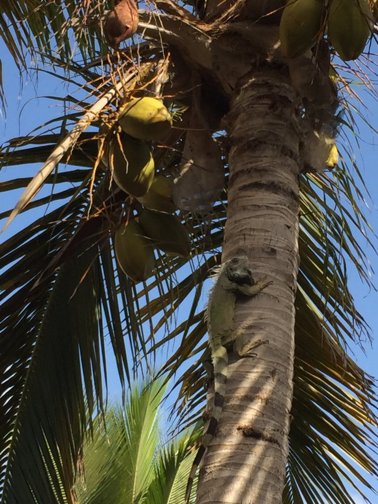 Iguana seeking refuge in a palm tree