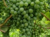 Gruner Veltliner grapes