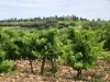 The rocky soil of Chateauneuf du Pape
