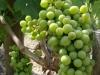 World class grapes