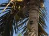 Iguana seeking refuge in a palm tree
